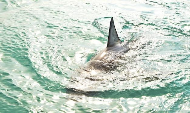 Grote witte haai rugvin die het zeeoppervlak doorbreekt.