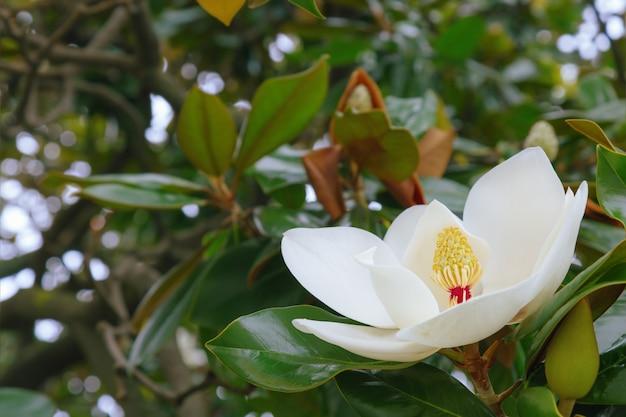 Grote witte magnoliabloem op een boom. groenblijvende boom of struik uit zuidelijke landen met grote geurende bloemen.
