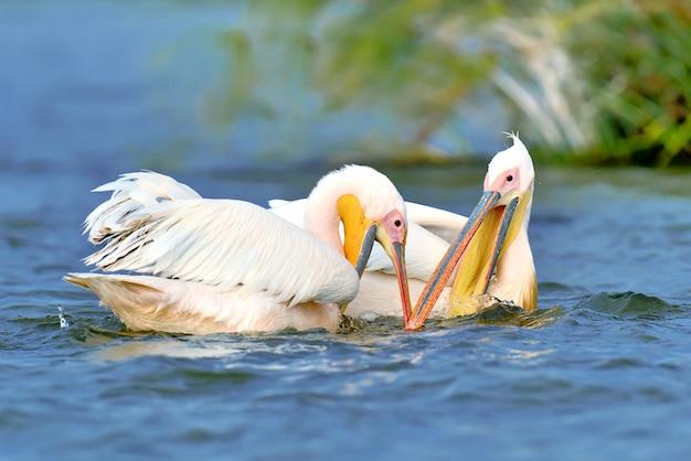 Grote witte pelikaan die over het meer, kenia, afrika vliegt