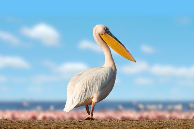 Grote witte pelikaan in meer, kenia, afrika