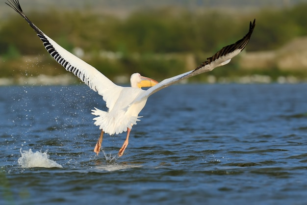 Grote witte pelikaan
