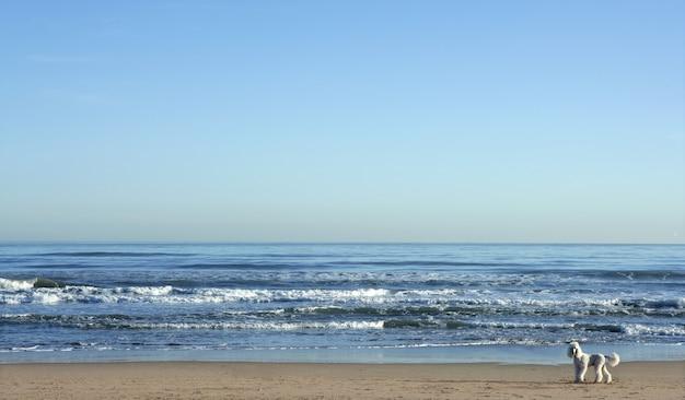 Grote witte poedel in een enorm strandlandschap