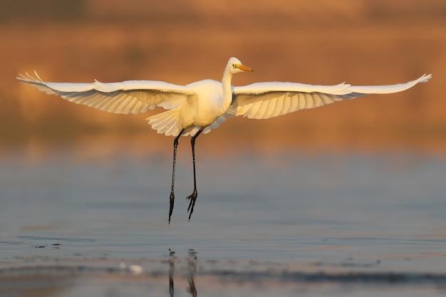 Grote witte reiger die vroeg in de ochtend op het water landt. ongebruikelijk perspectief en zacht ochtendlicht.