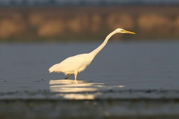Grote witte reiger staat in het kalme water met reflectie in zacht ochtendlicht