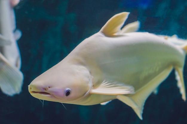 Grote witte vis met een bult in een tropisch aquarium.
