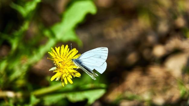 Grote witte vlinder op een bloem. rusland