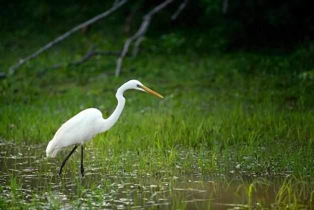 Grote witte zilverreiger staat in een vijver met dieren in het wild