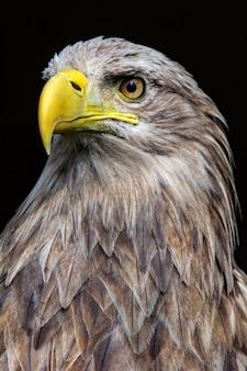 Grote zeearend, portret van een vogel