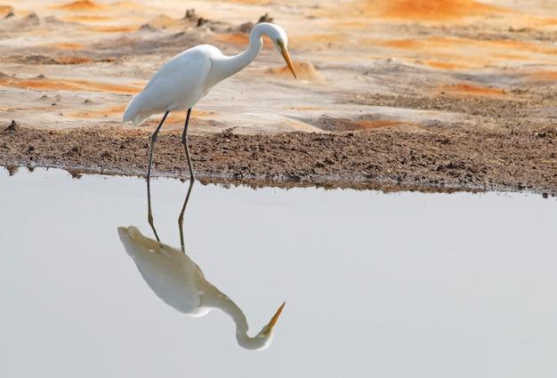 Grote zilverreiger casmerodius albus mooie vogels van thailand reflectie