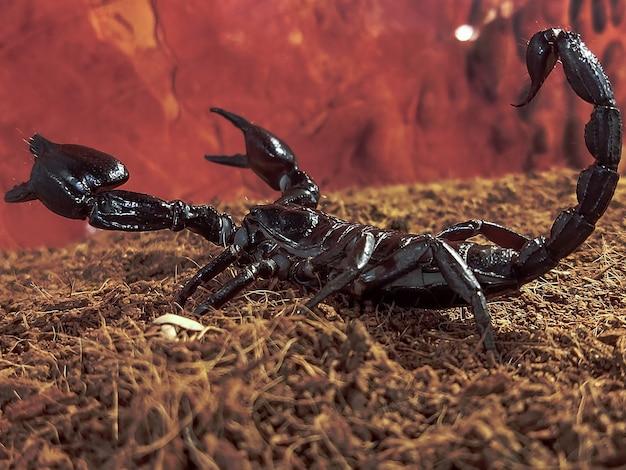 Grote zwarte koninklijke schorpioen in het terrarium