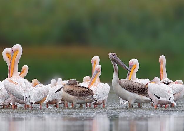Grote zwerm witte pelikanen uit de donaudelta. een jonge vogel is zwart.