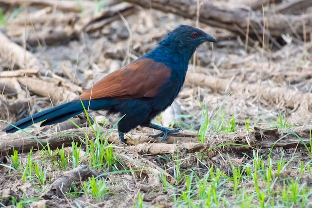 Grotere coucal