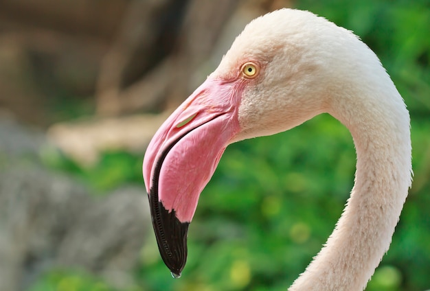 Grotere flamingo (phoenicopterus ruber)