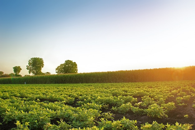 Ground nuts farm, jalgaon, maharashtra, india