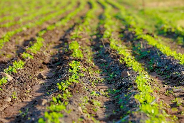 Ground nuts field