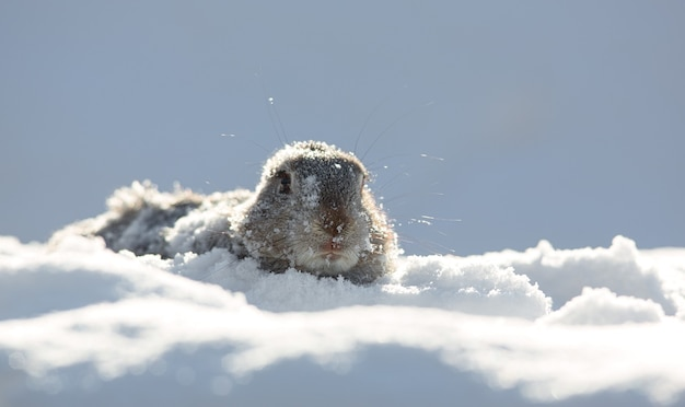 Groundhog kijkt uit hol suny day groundhog daymarmot schaduw