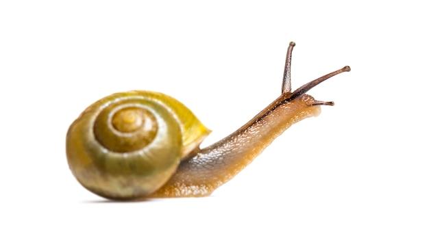 Grove slak of bruinslak, cepaea nemoralis, voor witte achtergrond