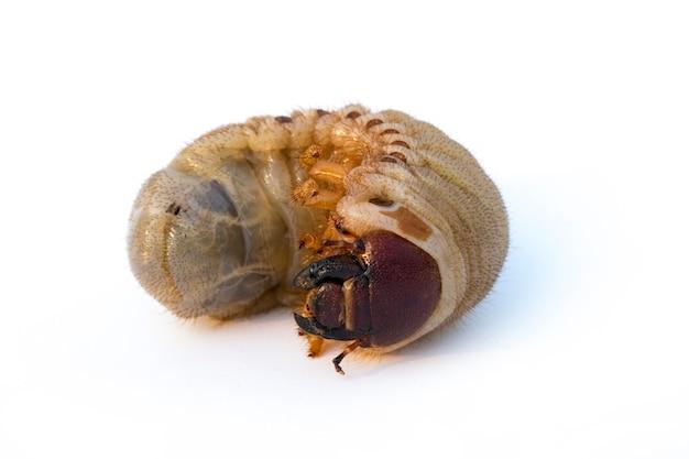 Grub worm geïsoleerd