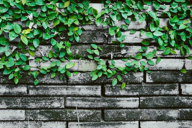 Grungebakstenen muur met wijnstok plant oude vuile natuurlijke achtergrond