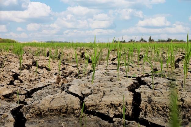 Grungegrond padie met boom rijst oppervlak en materiaal op padie, rijstboom en groen blad in het veld