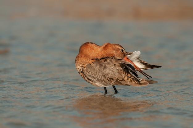 Grutto, limosa limosa, een eenzame vogel in het water die zijn veren gladstrijkt.