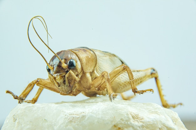 Gryllidae of cricket-close-up