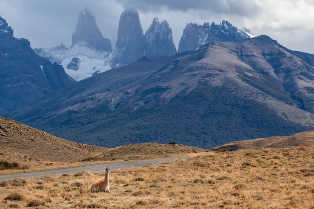 Guanaco in torres del paine national park patagonië