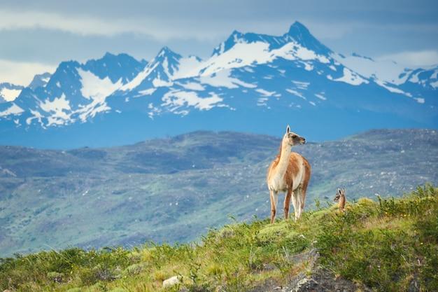 Guanacos-kameelachtigen in torres del paine national park in chili
