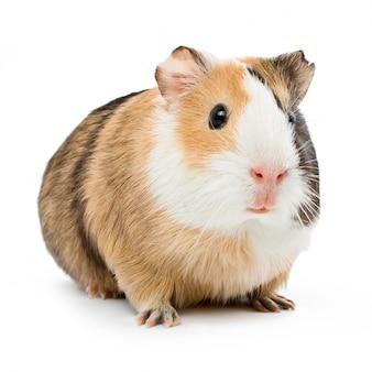 Guinea op wit oppervlak