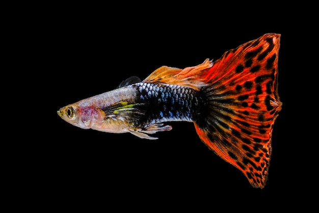 Guppy multi coloured fish op een zwarte achtergrond
