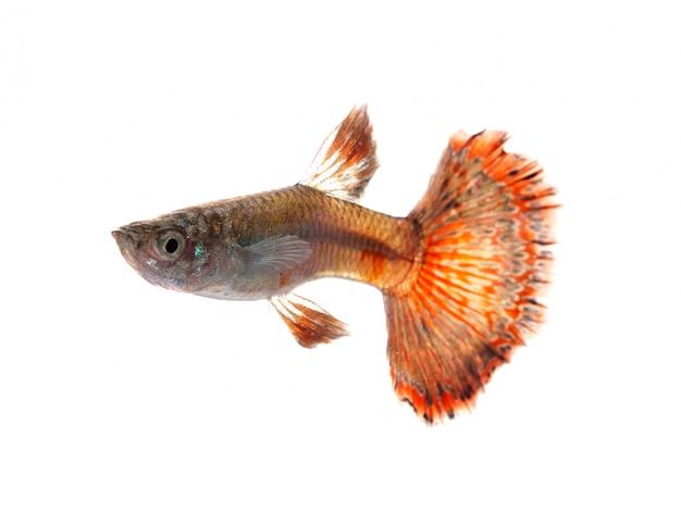 Guppy vis geïsoleerd