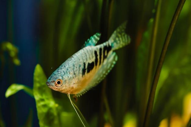 Gurami. blauwe vis drijft in een home aquarium close-up