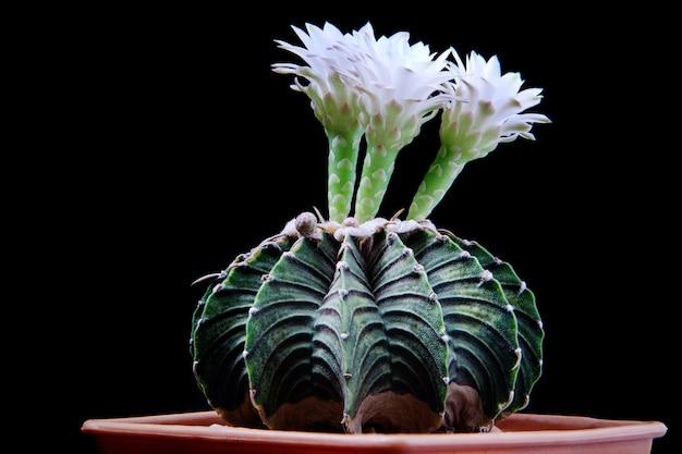Gymnocalycium-cactus met bloeiende bloem