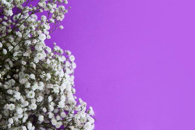 Gypsophila-bloemen op een lila achtergrond.