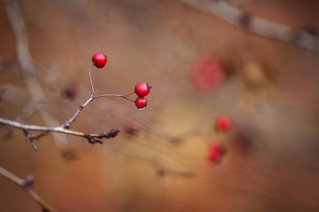 Haagdoorntak met rode bessen, de recente herfst, copyspace