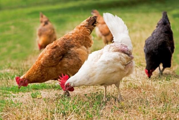 Haan en kippen die op het gras weiden.