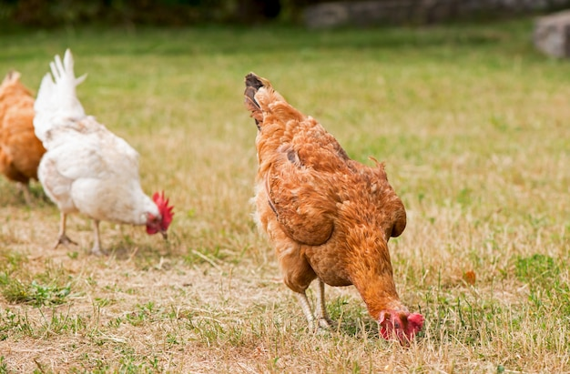 Haan en kippen die op het gras weiden