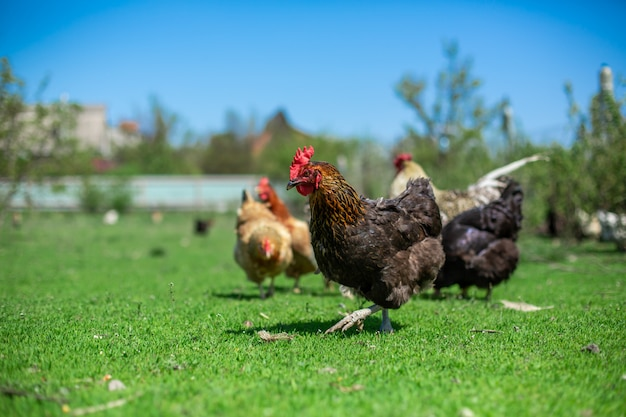 Haan en kippen grazen op groen gras. vee in het dorp