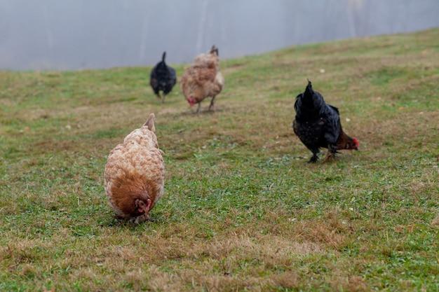 Haan en kippen grazen op het gras