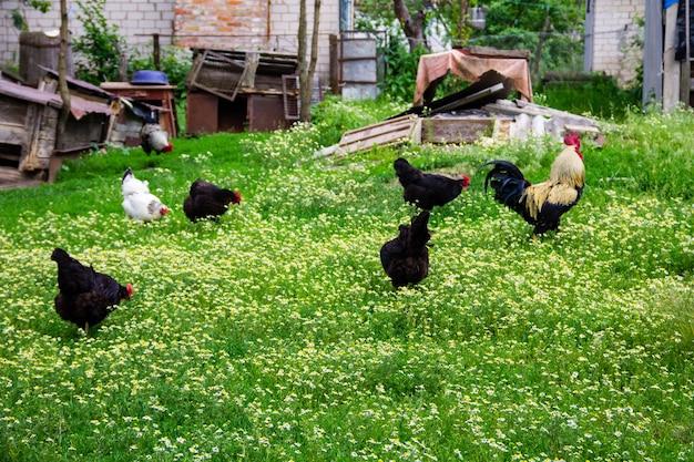 Haan en kippen in de tuin