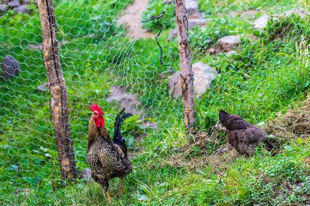 Haan en kippen. vrije uitloop haan en kippen