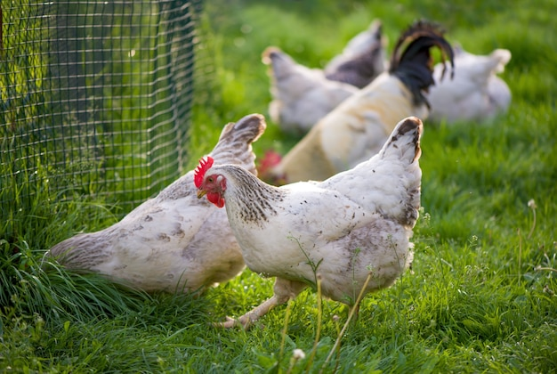 Haan en kippen. vrije uitloop hanen en kippen.