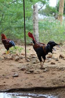 Haan kip cockcrow in de ochtend op het hek