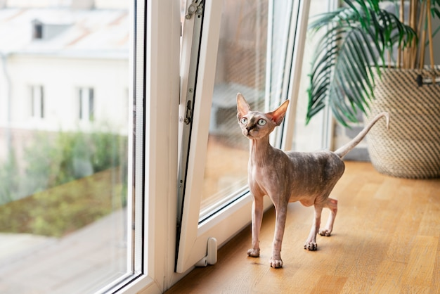 Haarloze kat die bij het raam staat