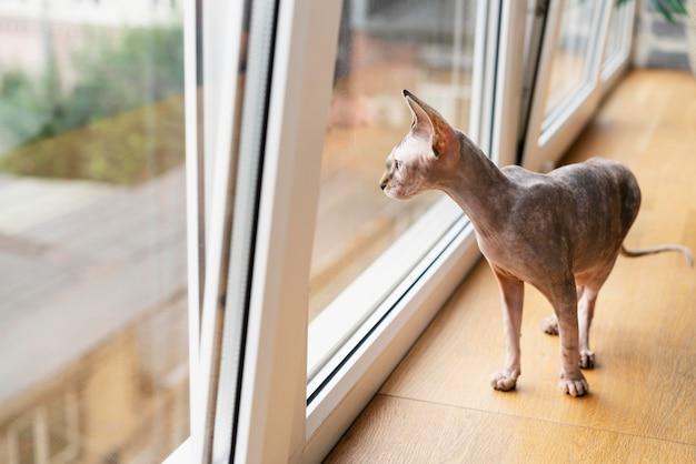 Haarloze kat kijkt uit het raam