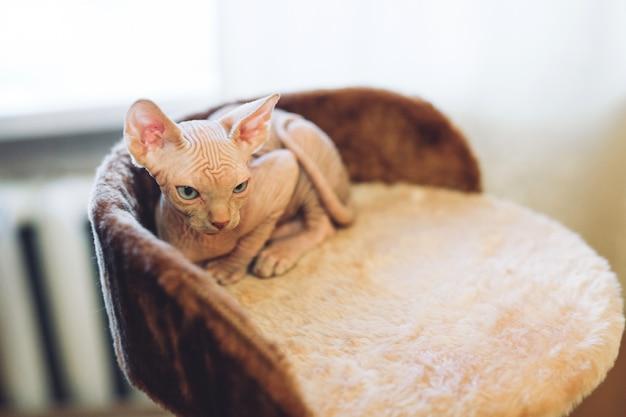 Haarloze sphinx kat.
