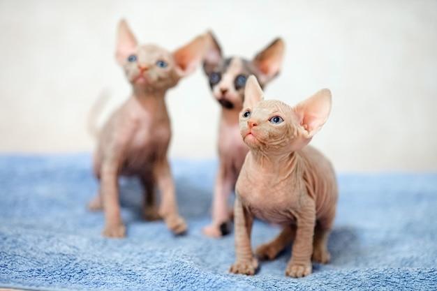 Haarloze sphinx katten.