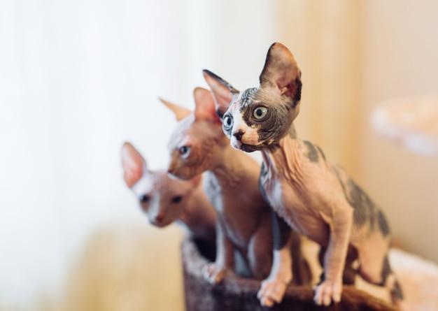 Haarloze sphinx-katten.