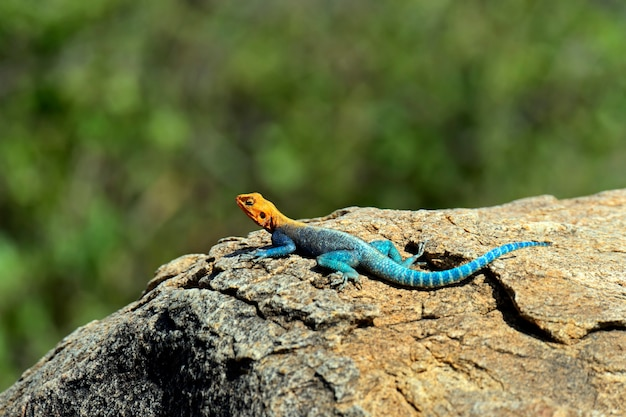Hagedis in de afrikaanse savanne in hun natuurlijke omgeving