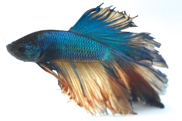 Halfmoon betta blue vechtende vis